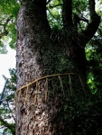 Holy Camphora Tree at Suwa Shrine