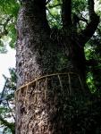Holy Camphora Tree at Suwa Shrine